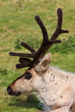 Caribou Stock Photo