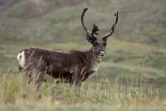 Caribou Photo stock