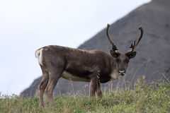 Caribou Royalty Free Stock Photography