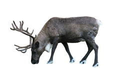 Caribou Royalty Free Stock Image