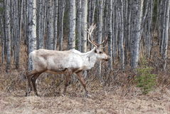 Caribou. A caribou in Kenai Alaska on a spring day Royalty Free Stock Photography