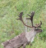 caribou Zdjęcie Royalty Free