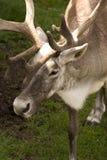 caribou Стоковые Изображения