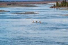 caribou Fotografia Royalty Free