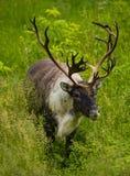 caribou Royaltyfri Bild