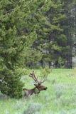 caribou стоковое изображение rf