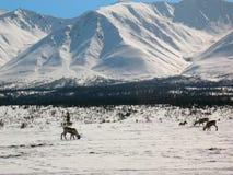 ряд пропуска caribou Аляски обширный Стоковая Фотография RF