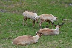 caribou Στοκ φωτογραφία με δικαίωμα ελεύθερης χρήσης