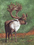 Caribou. Watercolour illustration by myself as the artist of a Caribou. Watercolour on paper Royalty Free Stock Images