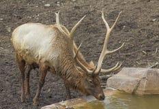caribou Zdjęcie Stock