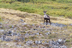 Caribou in Alaska Royalty Free Stock Photo