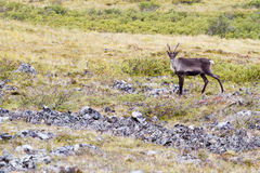 Caribou in Alaska Royalty Free Stock Images
