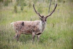 Caribou Stock Photos