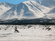 Caribou in Alaska Range (Broad Pass). A herd of caribou feeds on vegetation under the snow in the Alaska Range Royalty Free Stock Photography