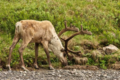 Caribou Stock Photography
