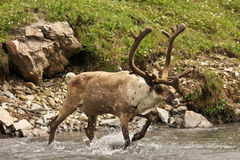 Caribou Stock Images