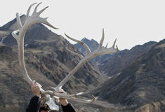 Caribou antlers Royalty Free Stock Photo