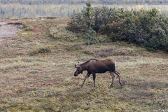 Caribou with antlers forages in  along tundra Stock Photos