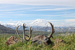 Caribou Antlers - Isolated Royalty Free Stock Photography