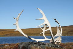 Caribou Antlers found on the arctic tundra stock photo