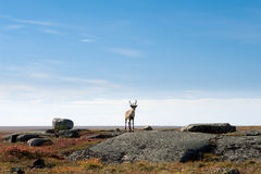 Caribou on the Arctic Tundra, Nunavut, Canada Stock Photos