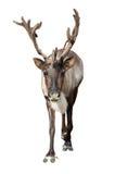 Caribou au-dessus de blanc photographie stock