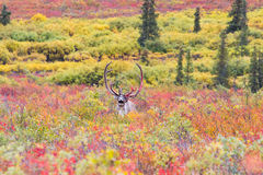 Caribou in autumn in Denali national park in Alask Royalty Free Stock Photos