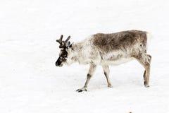 Caribou biega nad snowfield w Spitsbergen, Svalbard fotografia stock