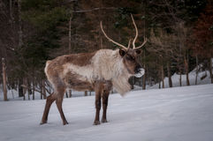 Caribou body close-up in winter. Stock Photos