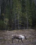 Caribou Buck and forest. A caribou buck roams the forests along the Alcan highway as autumn sets in stock images