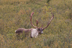 Caribou Bull in Fall. A barren ground caribou bull shedding his velvet in early fall royalty free stock photography