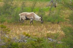 Caribou Stock Photography