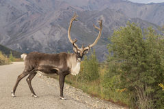 Caribou Bull Standing in Road in Denali N.P. A barren ground caribou bull in velvet in Denali National Park Alaska Stock Photography
