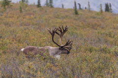 Caribou Bull in Velvet. A barren ground caribou bull in velvet in Alaska Stock Images