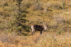 Caribou Bull in Velvet Royalty Free Stock Image