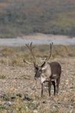 Caribou Bull in Velvet Royalty Free Stock Photography