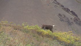 Caribou Bull in Velvet stock video footage