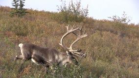 Caribou Bull in Velvet. A barren ground caribou bull in velvet in denali national park alaska stock footage