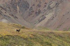 Caribou Bull  in Velvet Stock Photos