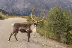 Caribou Bull in Velvet in Road Royalty Free Stock Image
