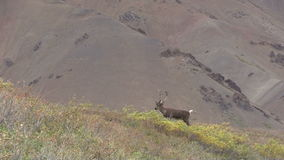 Caribou Bull in Velvet Zoom in stock video footage