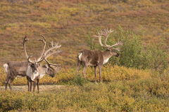 Caribou Bulls in Velvet Royalty Free Stock Image