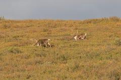 Caribou Bulls in Velvet on the Tundra Stock Photo
