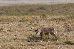 Caribou byk Zdjęcie Stock