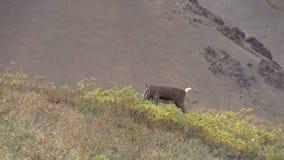 Caribou byk w aksamicie zdjęcie wideo