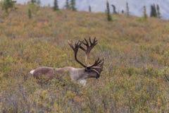 Caribou byk w aksamicie Obrazy Stock