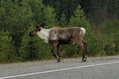 Caribou crossing the road in Canada. Closeup of a Male Caribou with antlers crossing the road in British Columbia, Canada. Forest in background stock photos