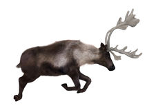 Caribou. 3D digital render of a caribou jumping isolated on white background Royalty Free Stock Photography
