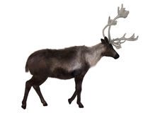 Caribou. 3D digital render of a caribou walking isolated on white background royalty free stock images