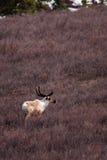 Caribou dans le domaine Photo libre de droits